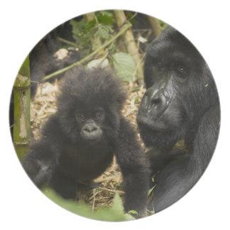 Gorila de montanha, adulto com jovens pratos de festas