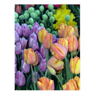 Grupo de tulipas coloridas cartão postal