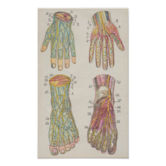Hands and Feet Antique Anatomical Engraving Pôster