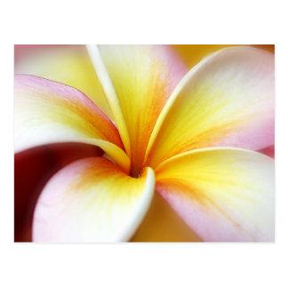 Hawaiian branco da flor de Havaí do Frangipani do  Cartão Postal