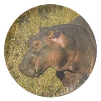 Hipopótamo do bebê fora da água longe dos adultos  pratos de festas
