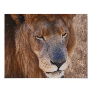 História dos leões em África do Sul Convite 10.79 X 13.97cm