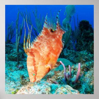 Hogfish Pôsteres