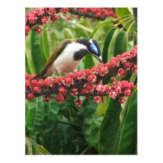 Honeyeater de olhos azuis Queensland Austrália Cartão Postal