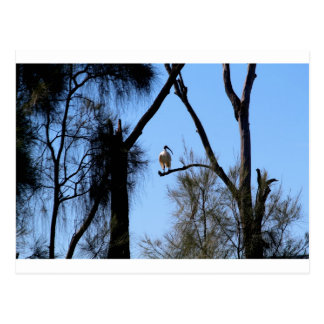 Íbis em uma árvore cartão postal