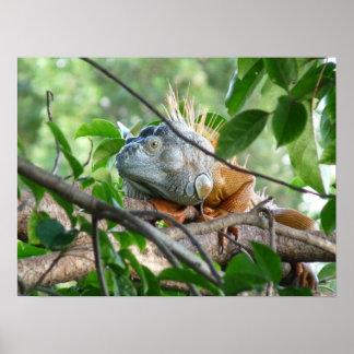 Iguanidae - lagarto novo do mundo poster