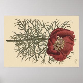 Ilustração botânica da peônia com folhas fina pôster