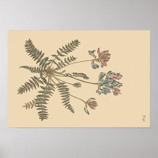Ilustração botânica de Milkvetch da montanha Pôster