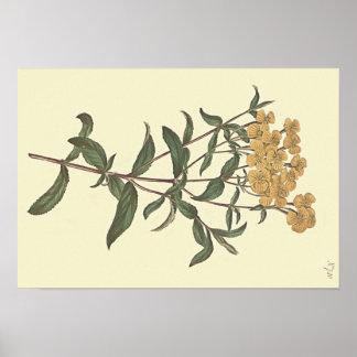 Ilustração botânica do cravo-de-defunto do pôster
