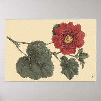 Ilustração botânica do Hollyhock de Seringapatam Pôster