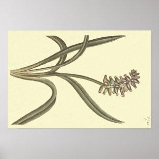 Ilustração botânica do jacinto de uva do Musk Pôster