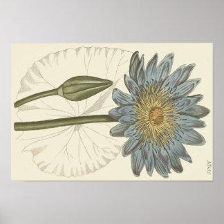 Ilustração botânica do lírio de água azul poster