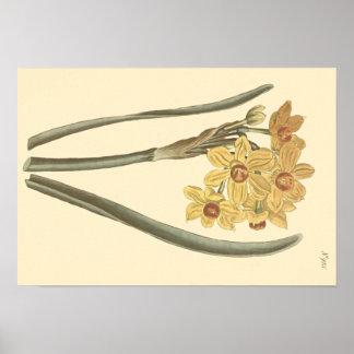 Ilustração botânica do narciso do Polyanthus Pôster