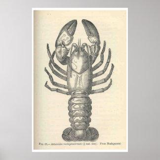 Ilustração das lagostas do vintage (1896) pôster