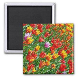 Ímã colorido do impressão das tulipas do primavera ímã quadrado