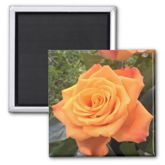 Ímã cor-de-rosa da foto da laranja bonita ímã quadrado