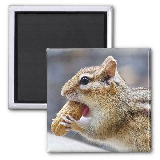 Íman Chipmunk com um amendoim