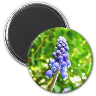 Íman Ímã azul da flor - jacinto de uva