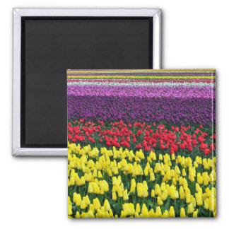 Íman Ímã colorido das tulipas do primavera