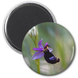 Íman Orquídea de abelha de Bertolonis (bertolonii do