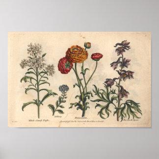 Impressão botânico Candytuft da arte da flor 1757