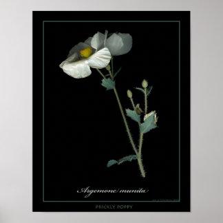 Impressão botânico da arte da papoila espinhosa