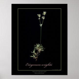 Impressão botânico da arte do trigo mourisco de Wr