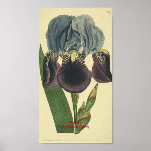 Impressão botânico da íris azul