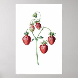 Impressão botânico das MORANGOS