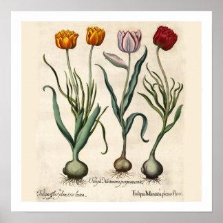 Impressão botânico das tulipas