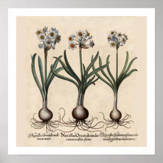 Impressão botânico de Narcillus