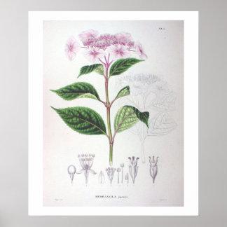 Impressão botânico do poster do desenho do Hydrang