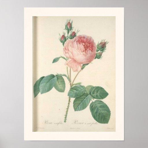 Impressão botânico do rosa da couve
