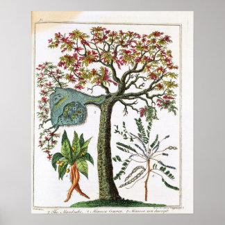 Impressão botânico do século XVIII
