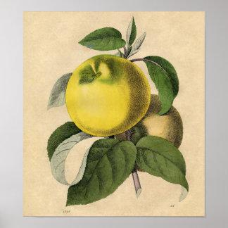 Impressão botânico do vintage - Apple