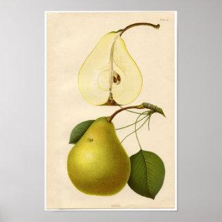Impressão botânico do vintage - pera