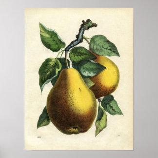 Impressão botânico do vintage - peras