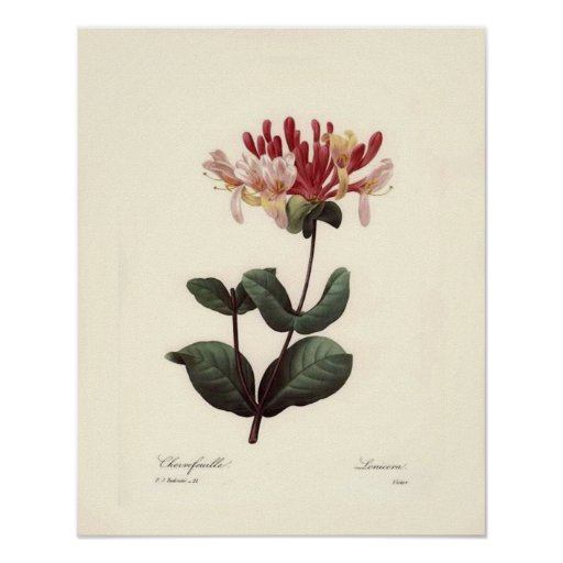 Impressão botânico do vintage