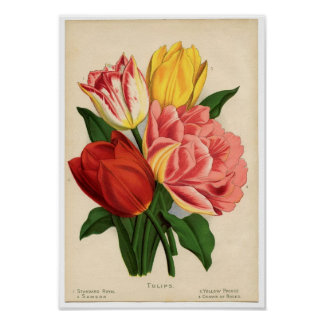 Impressão botânico do vintage - tulipas