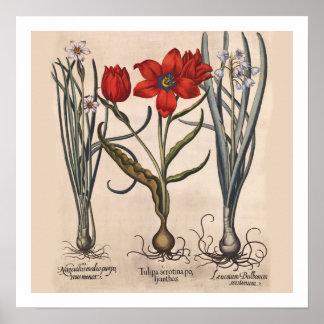 Impressão botânico dos bulbos de flor