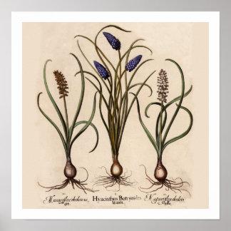 Impressão botânico dos jacintos