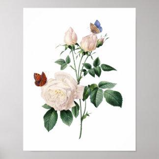 Impressão botânico dos ROSAS originais por Redoute