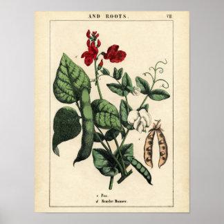 Impressão botânico - ervilha & escarlate de feijão