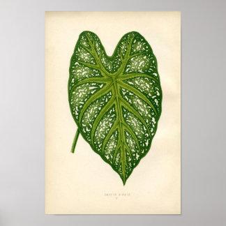 Impressão botânico - folha do Caladium