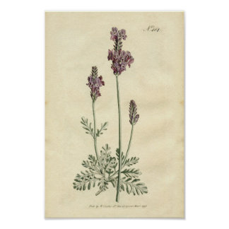 Impressão botânico - lavanda