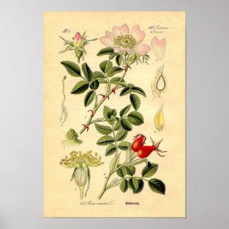 Impressão botânico - rosa de cão (Rosa Canina)