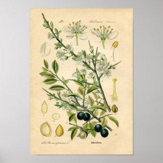 Impressão botânico - Sloe (spinosa do Prunus)