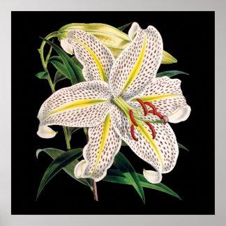impressão botânico superior branco do lírio de
