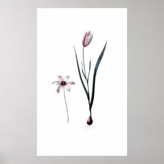 IMPRESSÃO BOTÂNICO SUPERIOR da senhora tulipa