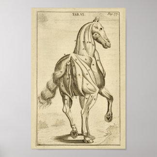 Impressão da arte da anatomia do músculo do cavalo